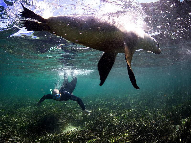 swim with sealions eyre peninsula bird bay south australia